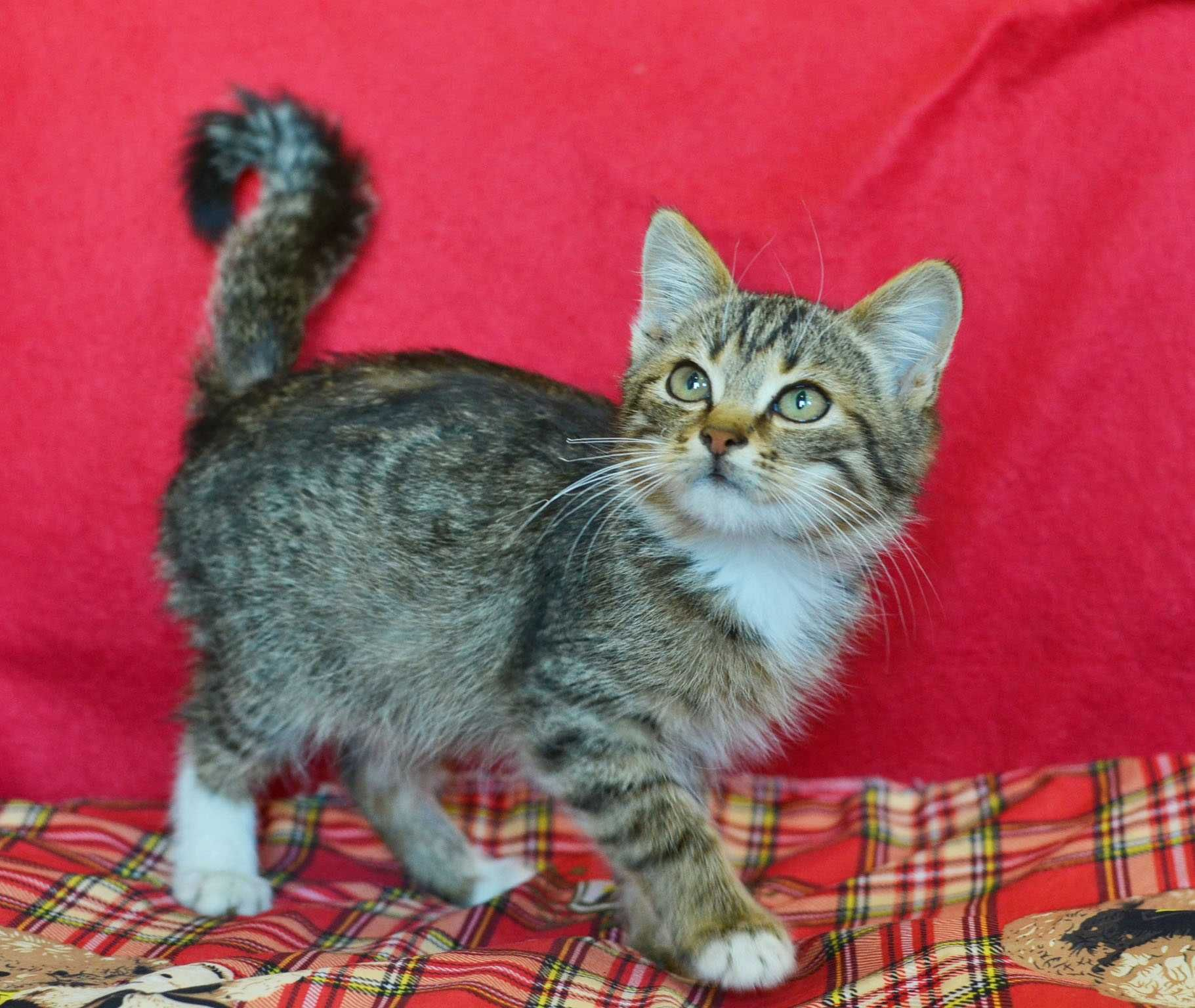Котик Філя, 2 міс., гарне смугасте забарвлення, дуже ласкаве кошеня