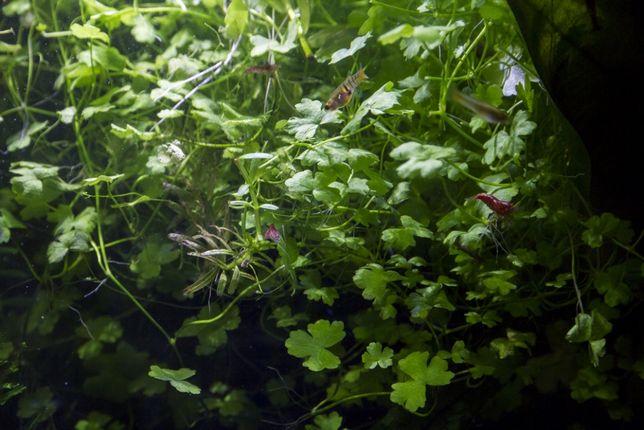 Rośliny schronienie dla narybku i krewetek wszystkie strefy - porcja L