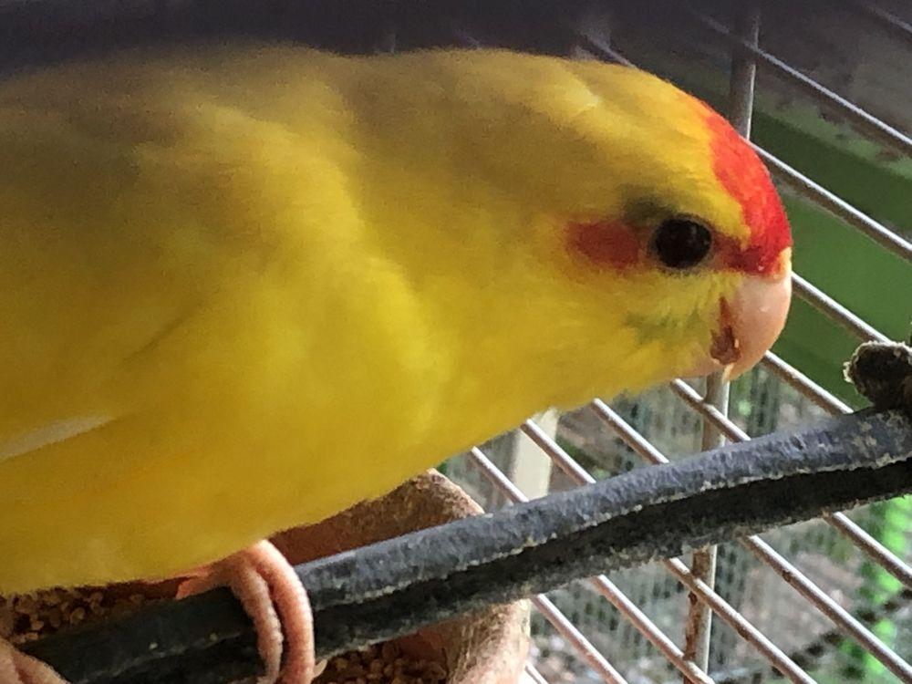 Kakarikis amarelos e verdes canela