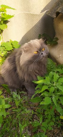 Пропала  кошка вислоухая за Вознаграждение!