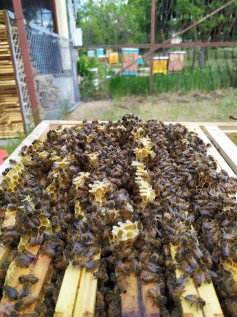 Odkłady pszczele krainka victoria rodziny pszczele pszczoły