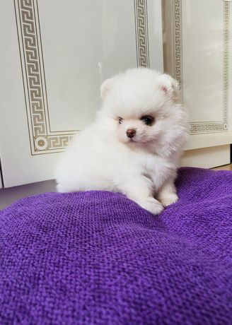 Pomeranian boo boy ,exotic