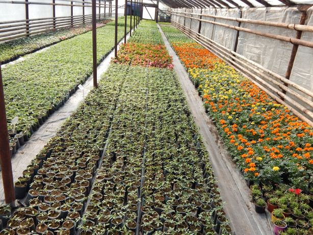 Rozsady sadzonki warzyw kwiatów pomirod pelargonie surfinie dalie kana