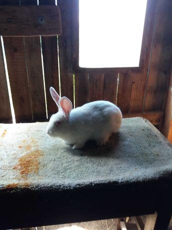 królik termondzki biały
