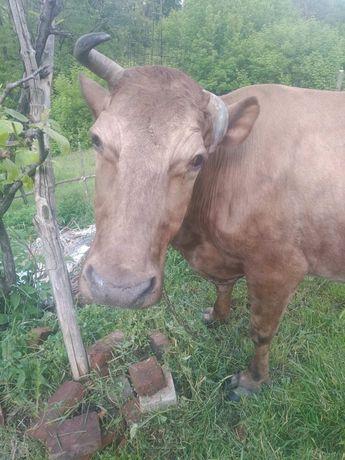 Продам   корову.  .