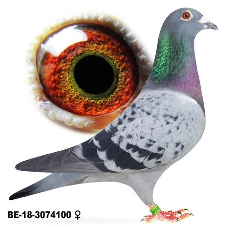 Młode 2021 para 24 , Vandenabeele Inbr Bliksem gołąb gołębie pocztowe