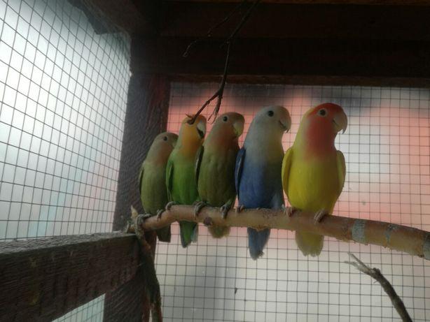 Sprzedam Papugi Nierozłączki.