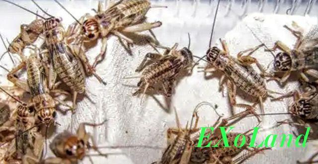 Сверчки насекомые продам