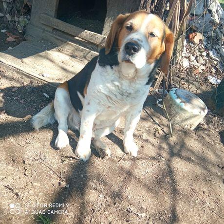 Oddam psa za darmo rasy Beagle
