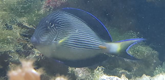 Acanthurus sohal akwarium morskie