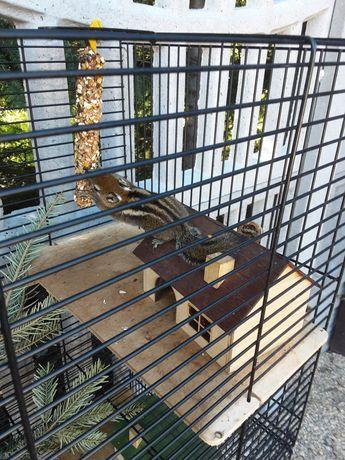 Wiewiórki chińskie