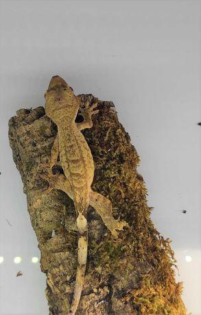 Gekon orzęsiony Corelophus Cilliatus