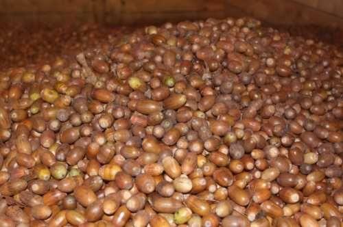 Skup żołędzi nasion 4zl