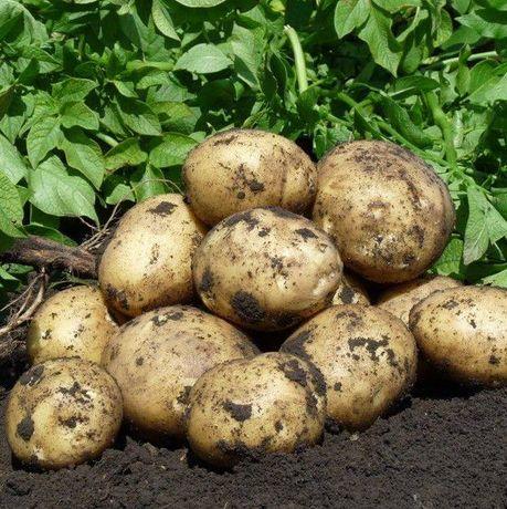 Насіннєва картопля сорт Рів'єра 1 репродукція