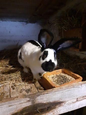 Sprzedam króliki Srokacze Niemieckie