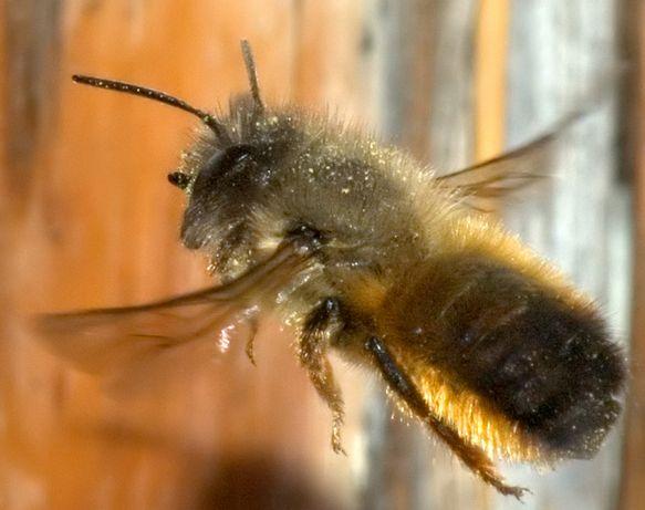 Pszczoła Murarka Ogrodowa - kokony selekcjonowane