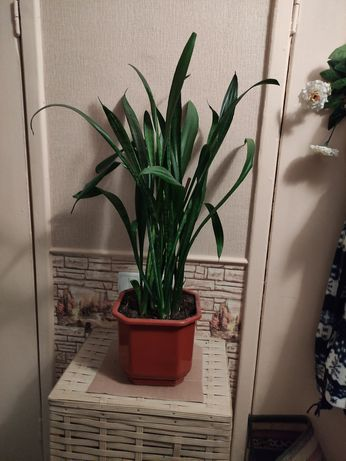 Сансевиерия. Комнатные растения. Цветы.