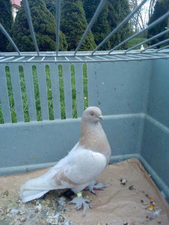 Blauwinder gołębie