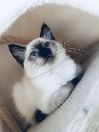 - Kocięta Ragdoll - kocurek i kotka