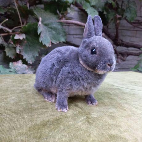 Карликовый кролик редкой породы рекс