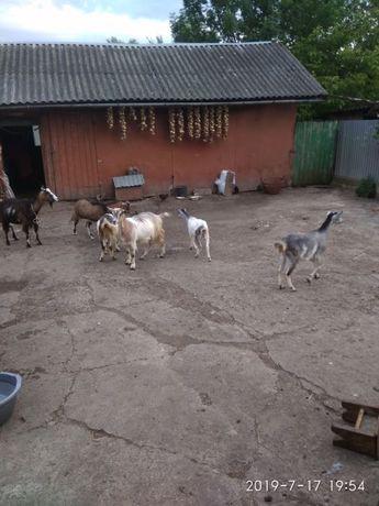 Кози  доіни та козята .