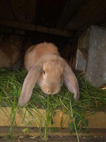 Samiec królik baran francuski