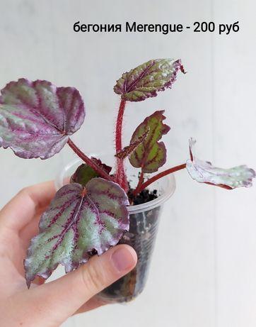 Комнатные растения. Бегонии