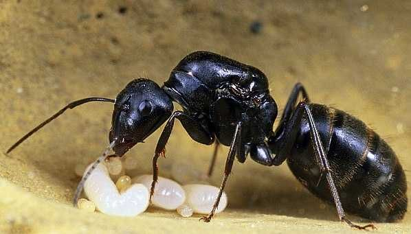 Муравьи Camponotus japonicus Японский муравей-древоточец и формикарий