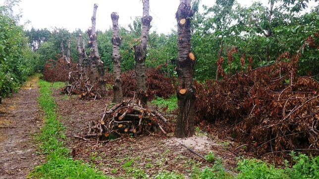 Drzewo czeresnia