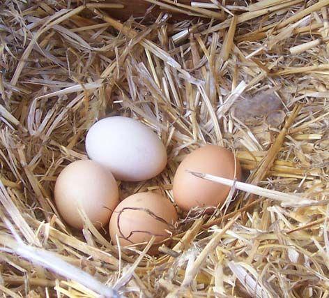 Jaja kurze wiejskie- świeże!