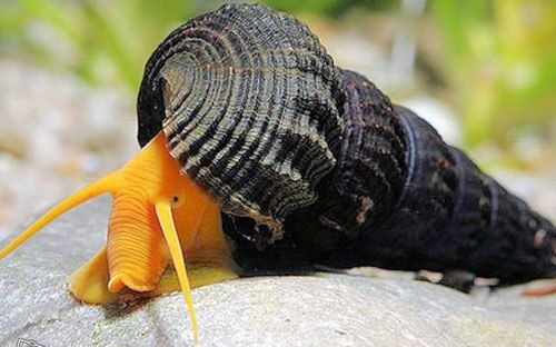 Ślimak Tylomelania orange