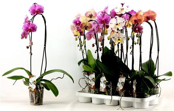 Орхидеи фаленопсис - Растения и Цветы из Голландии, Германии, Азии, EС