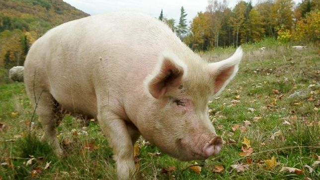 М'ясо свині