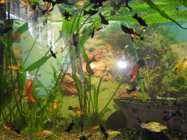 Rybki akwariowe;gupiki i molinezje