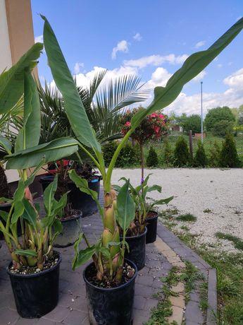 Bananowiec Musella Lasiocarpa wiele pni! Bardzo dekoracyjny.