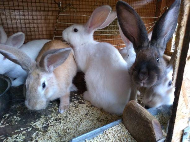 króliki samce samice młode