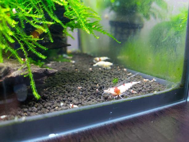 Krewetki crystal red woda kranowa