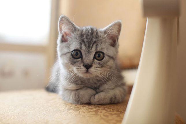Котёнок скоттиш-страйт