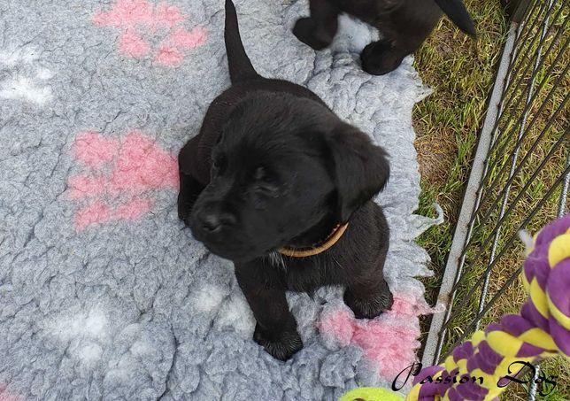 Labrador czarne szczenięta ZKwP/FCI już do odbioru