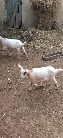 Vendo cabras produção caseira