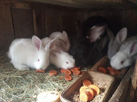 Sprzedam młode króliki