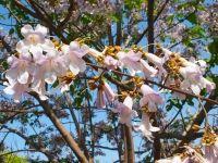 Павловния войлочная Императорская (адамово дерево) семена (Павловнія)