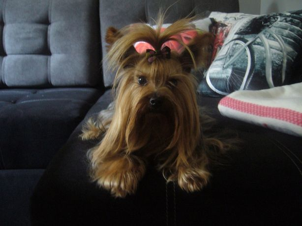 York,Yorkshire Terrier,Shih Tzu reproduktor