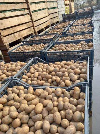 Ziemniak wielkości sadzeniaka, 1 raz sadzone - dowóz