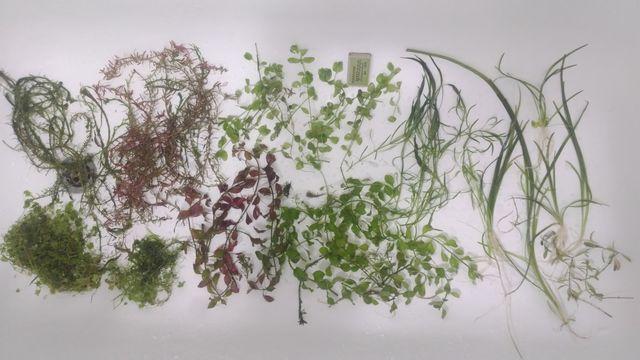 Duży zestaw roślin Rotala Bacopa Ludwigia Hydrocotyle Pogestemon Valis