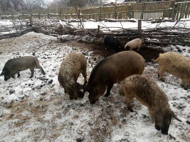 Поросята кармалы,поросные свиноматки кармалы,венгерской пуховой мангал