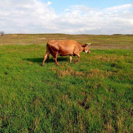 Продам корову и 4-х месячного бычка, порода Красная степная