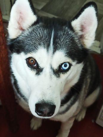 Собака породи Хаскі Ніка (дівчинка)