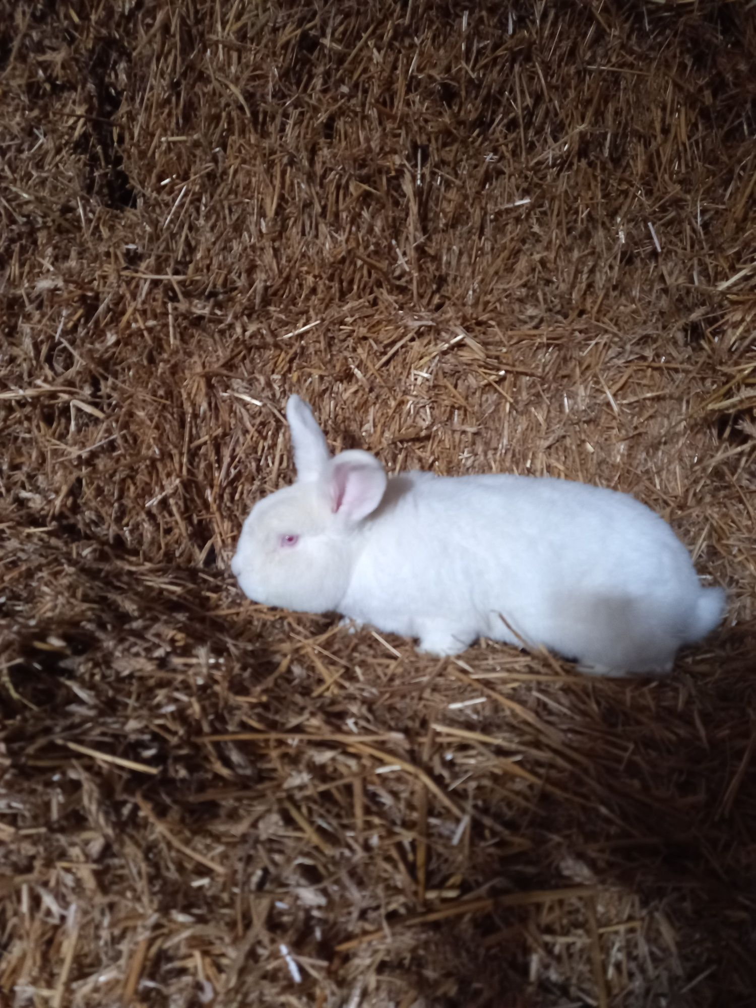 Samica królika, nowozelanda