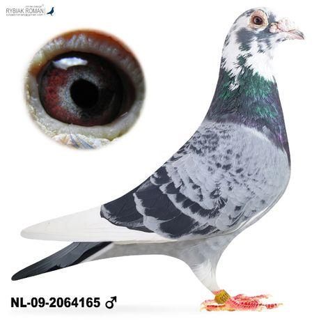 Młode 2021 Para 26 Wnuk Wandelaar x 3 lotnicza gołąb gołębie pocztowe